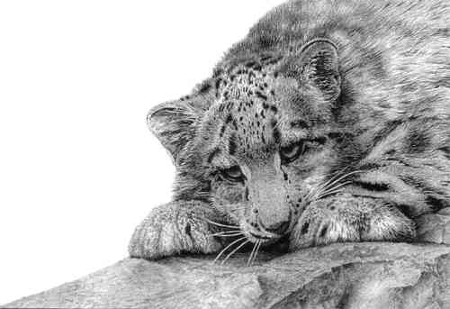 Snow Leopard Cub - Painting by David Dancey-Wood