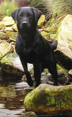 Logo - Black Labrador - Painting by Steven Townsend